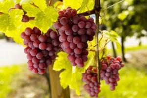 科普小白斑白霜什么样的葡萄不能吃你知道吗