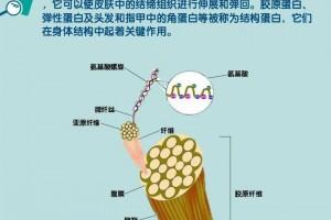 图说人体-14咱们了解的胶原蛋白